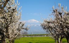 Free Spring Time With Plum Trees Royalty Free Stock Image - 18816136