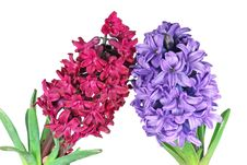 Free Two Hyacinth Stock Image - 18819471