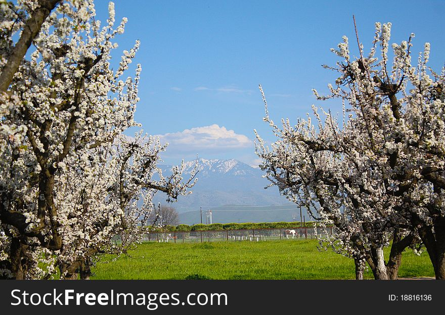 Spring Time with Plum Trees