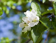 Free Apple Tree Blossom Royalty Free Stock Images - 18821599