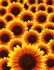 Free Sunflower Stock Image - 18821671