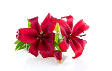 Free A Closeup Of Red Lilies Stock Images - 18822064