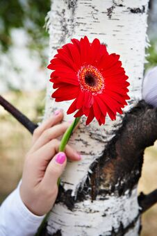 Free Red Gerbera Flower In Female Hand Royalty Free Stock Photography - 18822297