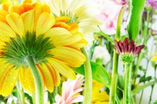 Free Yellow Gerbera Beauty Stock Photos - 18823113
