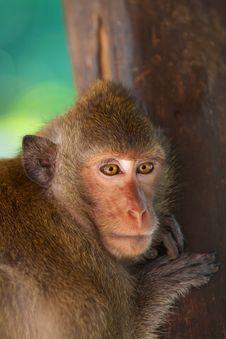 Free Pensive Monkey Royalty Free Stock Photo - 18823895