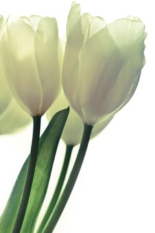 Free Bunch Of White Tulips Royalty Free Stock Photography - 18824177
