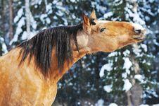 Gold Horse Stallion Portrait In Winter Stock Photo
