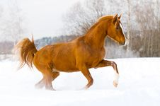 Red Arabian Stallion Runs Gallop In The Snow Stock Photos