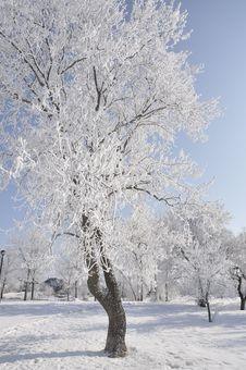 Tree Covered In Hoarfrost Snow Stock Images