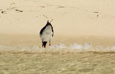 Free Pied Oystercatcher Royalty Free Stock Image - 18827636