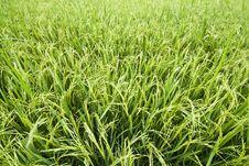 Free Rice Field Stock Photo - 18827790