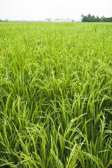 Free Rice Field Royalty Free Stock Photo - 18827815