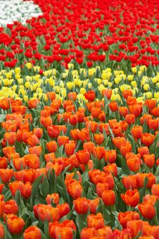 Free Tulips In Four Colors Royalty Free Stock Photography - 18828067