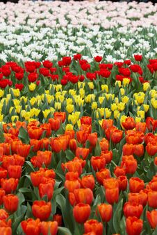 Free Tulips In Five Colors Royalty Free Stock Photo - 18828075