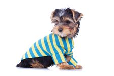 Free Adorable Yorkshire Puppy, Looking At Something Royalty Free Stock Images - 18829599