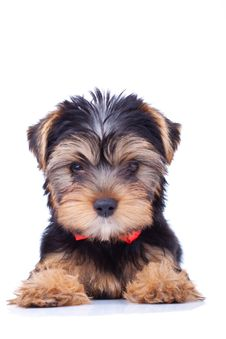 Free Yorkshire Puppy Sitting And Looking Royalty Free Stock Photos - 18829618