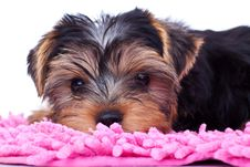 Free Yorkshire Puppy, Resting On Pink Blanket Royalty Free Stock Images - 18829619