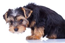 Free Curious Yorkshire Puppy Looking At Something, Stock Photography - 18829622