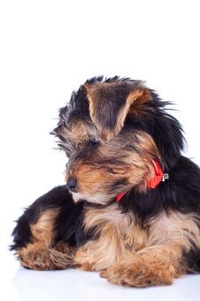 Free Curious Yorkie Puppy, Sitting Royalty Free Stock Photo - 18829625