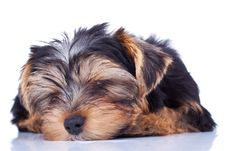 Free Sleeping Yorkshire Puppy Royalty Free Stock Images - 18829629