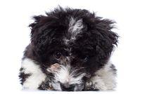 Free Cute Lying Bichon Havanese Puppy Stock Photo - 18829650
