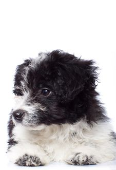 Curious Havanese Bichon Looking Stock Image