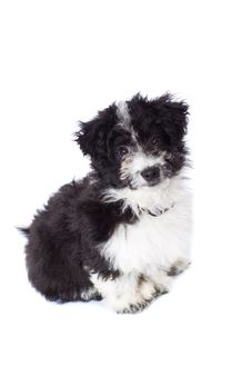 Adorable Black And White Bichon Sitting Stock Images