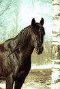 Free Winter Portrait Of Bay Horse Royalty Free Stock Image - 18831566