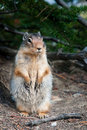 Free Ground Squirrel Royalty Free Stock Images - 18831669