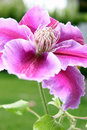 Free Clematis Flower With Garden Background Royalty Free Stock Photos - 18832968