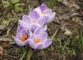 Free Purple Crocus Stock Photos - 18836023