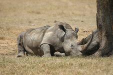 Free White Rhino Royalty Free Stock Image - 18832016