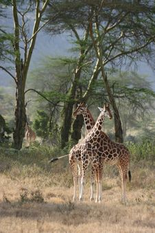 Free Giraffes Royalty Free Stock Photos - 18832528