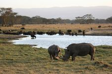 Free Rhinos And Buffaloes Stock Images - 18832674