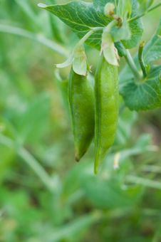Free Peas Thickets In Pods Stock Image - 18832961