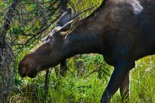 Free Young Moose Royalty Free Stock Photos - 18833028