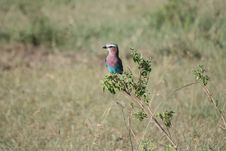 Free Lilac-breasted Roller Stock Image - 18833161