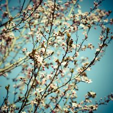Free Blooming Apricot Trees Stock Photo - 18834840