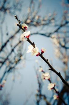 Free Apricot Flowers Royalty Free Stock Photography - 18834877