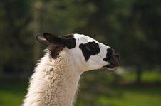 Free Llama &x28;Lama Glama&x29; Royalty Free Stock Images - 18835019