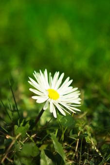 Free Daisy Close Up Royalty Free Stock Photos - 18835228
