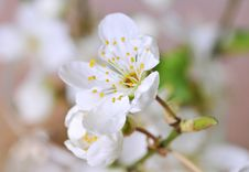 Free Spring Blossom Royalty Free Stock Photos - 18836398