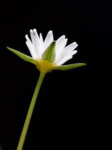 Free Lotus Royalty Free Stock Image - 18836676