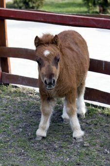 Baby Pony Royalty Free Stock Photo