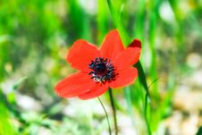 Free Poppy Stock Photos - 18837203