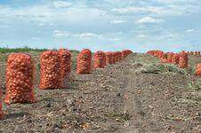 Free Onion Harvest Royalty Free Stock Photos - 18837228