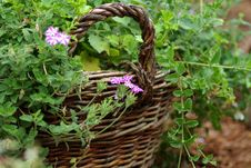 Free Wattled Basket Is Filled By Green Plants Stock Photography - 18837312