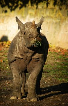 Free Rhinoceros Eating Grasss Royalty Free Stock Photography - 18838257