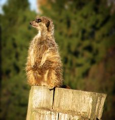 Free Meerkat On The Log Stock Photo - 18838270