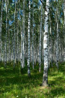 Free Birchwood In Sunny Day Royalty Free Stock Photos - 18841658